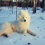 cold for samoyed
