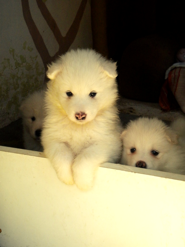 samoyed growth stages