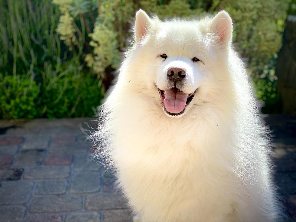 aggressive samoyed