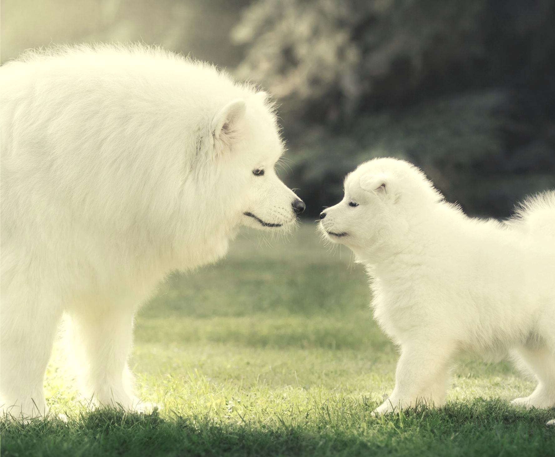 full-grown samoyed