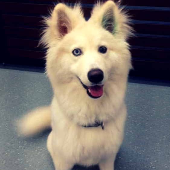 husky samoyed mix