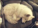 samoyed sleep
