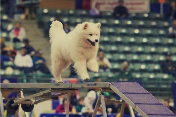 samoyed training