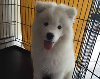 samoyed barking