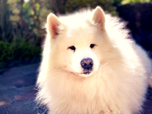samoyed crossbreed