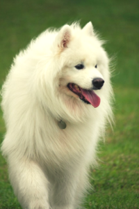 Does smacking a Samoyed dog on the nose hurt them?