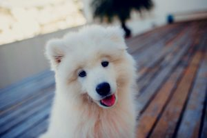 excitement peeing in Samoyed puppies