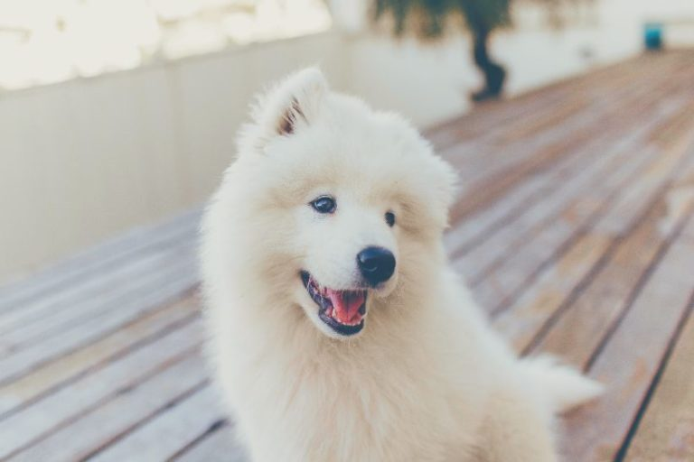 samoyed puppy homemade food