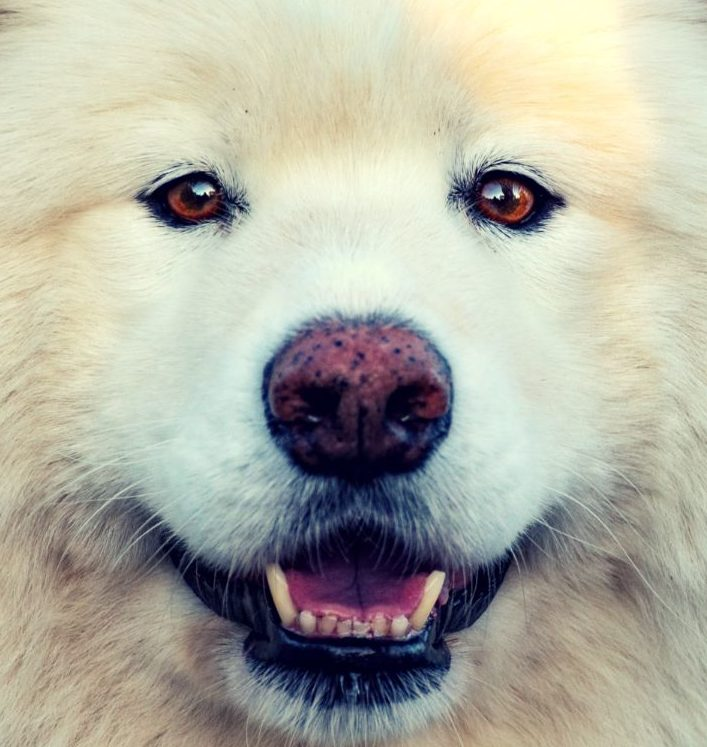samoyed nose turns pink