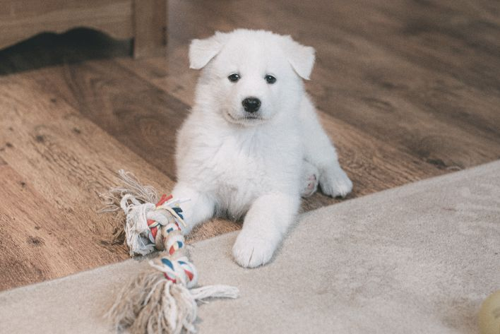 why crate training a samoyed is bad